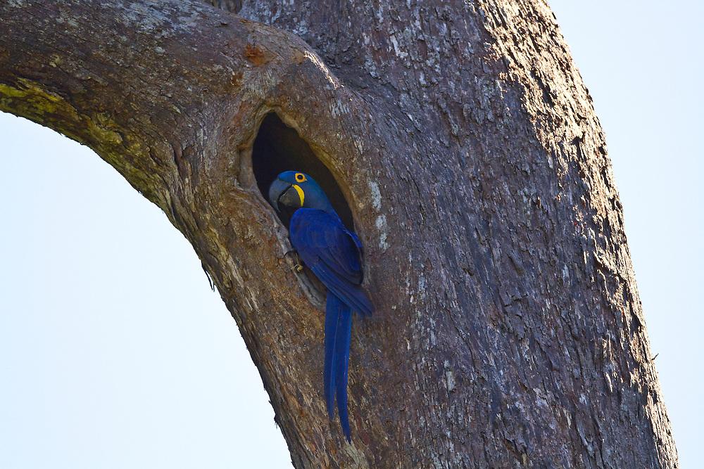 Parauapebas_PA, Brasil.<br /> <br /> Floresta Nacional de Carajas (Flona). Na foto detalhe de Arara-azul (Anodorhynchus hyacinthinus) na floresta amazonica, Para.<br /> <br /> The Carajas National Forest. Blue macaw (Anodorhynchus hyacinthinus) in the Amazon rain forest, Para.<br /> <br /> Foto JOAO MARCOS ROSA / NITRO