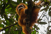 A critically endangered wild Tapanuli orangutan (Pongo tapanuliensis) in the forest of Batang Toru, Tapanuli District, Sumatra, Indonesia