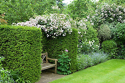 Rosa 'Paul's Himalayan Musk' growing over hedge with wooden bench seat in yew alcove
