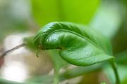 Lemon tree leaves distorted by calcium deficiency