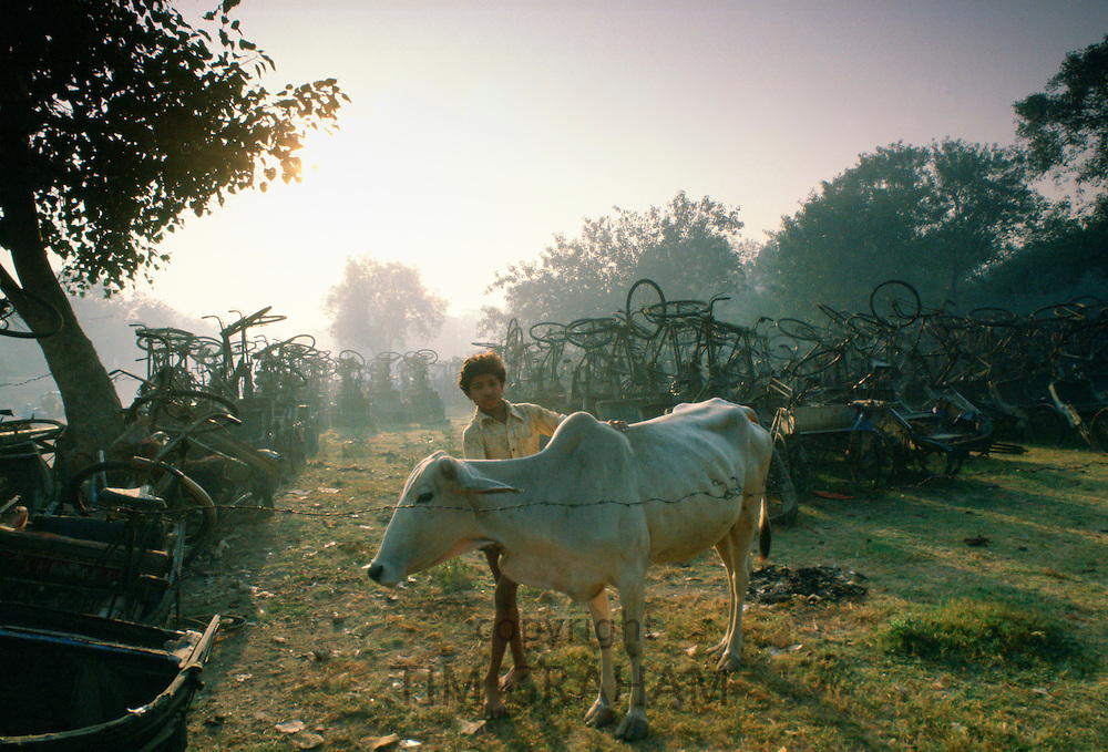 A boy tends a cow in a store for rickshaws confiscated for non-payment of taxes by their owners, Delhi, India