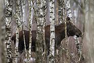 Łosie z Biebrzańskiego Parku Narodowego