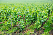 Chardonnay grapevines at Champagne Taittinger vineyard near Epernay in Champagne-Ardenne, France. Red rose signifies healthy vines.