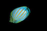 UNDERWATER MARINE LIFE HAWAII FISH: Ornate butterflyfish Chaetodon ornatissima
