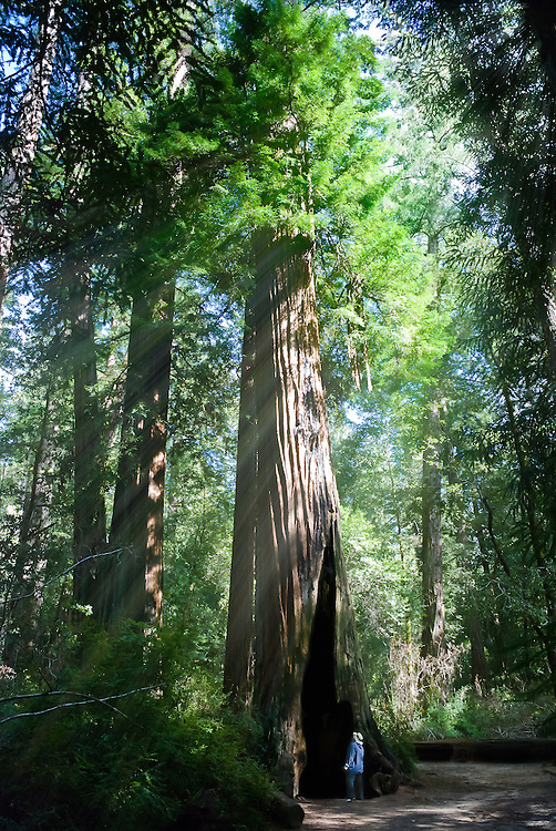 SUBJECT: Coastal redwood at Big BasinRedwoods State Park, California. IMAGE: Redwood tree, a giant survivor of earthquakes, fire and man towers above an appreciative figure dwarfed by its grandure.