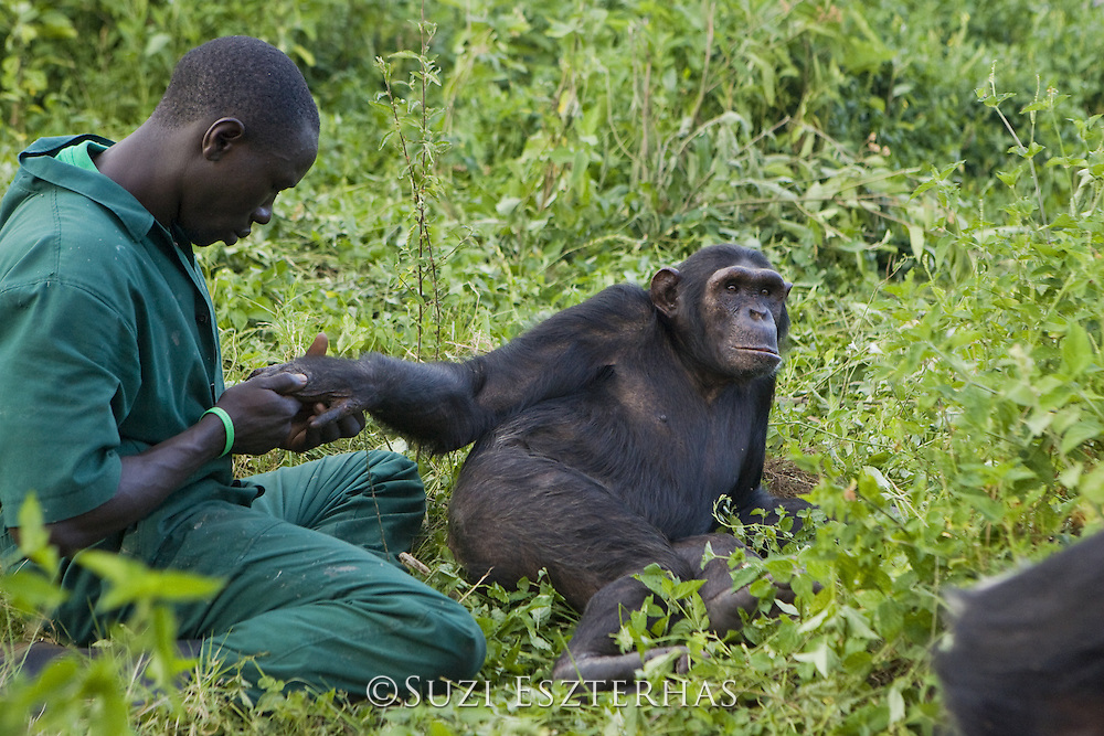 Chimpanzee<br /> Pan troglodytes<br /> Rodney Lemata (Caretaker) grooming rescued chimpanzee(s) <br /> Ngamba Island Chimpanzee, Sanctuary <br /> *Model release available - Release #MR_007<br /> *Captive