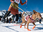 NEWS&GUIDE PHOTO / PRICE CHAMBERS.Cora Mikkelsen and her dog Frieda prepare to leave the start line of the 2010 Coney Classic Fun-jor on Sunday in Teton Village. The race raises money for PAWS, the Teton County/Jackson Animal Shelter and SafePAWS.