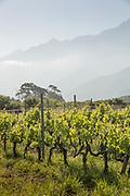 Vineyard on summer day, Route des Vins de Balagne, Corsica, France