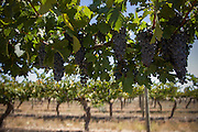 The Barossa Valley is one of Australia's oldest wine regions. Located in South Australia, the Barossa Valley is about 56 km northeast of the city of Adelaide.Penfolds Wines.