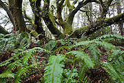 A moss covered tree with twisting branches towers over sword fern (Polystichum munitum) plants along the Coast Trail in Point Reyes National Seashore, California.