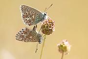 Adonis blue (Polyommatus bellargus) butterflies mating. Sussex, UK.