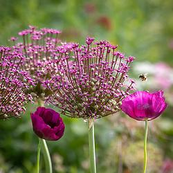 Bee on Allium 'Magic' with Papaver somniferum - self sown opium poppies