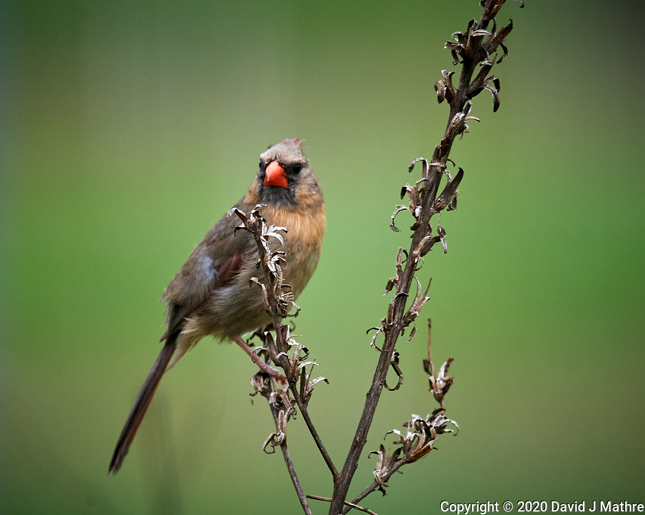 Northern Cardinal. Image taken with a Nikon D5 camera and 600 mm f/4 VR lens (ISO 1400, 600 mm, f/5.6, 1/1250 sec).