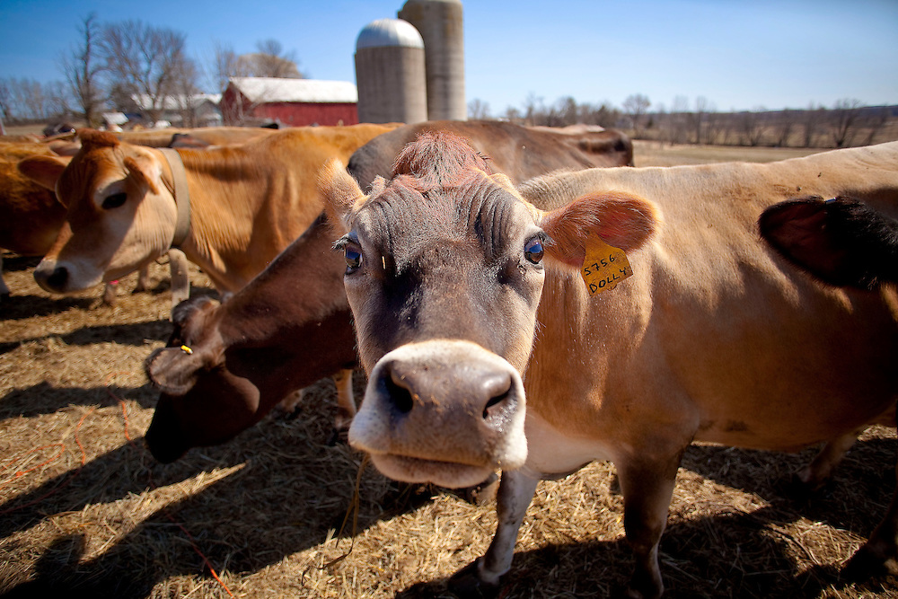 A dairy cow on the farm of Dave Turba near St Ann, Wisconsin. (Mike Roemer Photo)