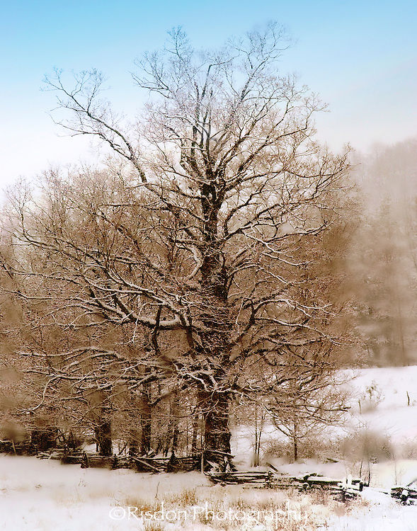 Old Sugar Maple in Winter