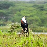 African Fish Eagle (Haliaeetus vocifer) Photographed in Kenya, Lake Naivasha Reserve in February