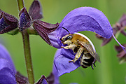 Longhorn bee (Eucera nigrescens); Wiesensalbei; Hammelburg, Elfershausen, Germany | Frühe Langhornbiene (Eucera nigriscens); Hammelburg, 97725 Elfershausen, Deutschland