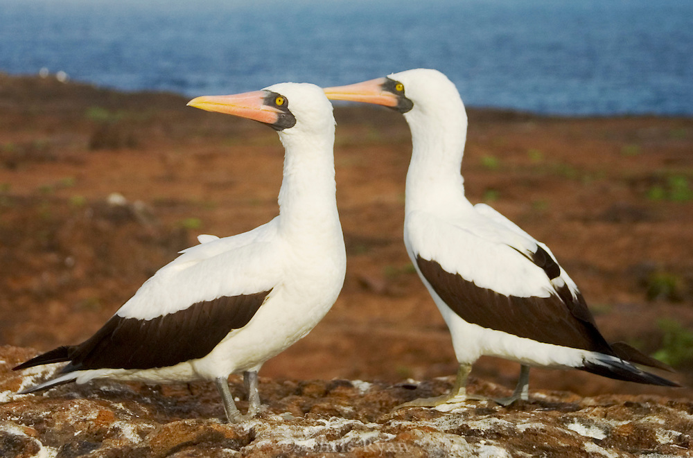 Masked boobies, Galapagos Islands.