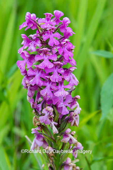 63899-05504 Purple Fringeless Orchid (Platanthera peramoena) Marion Co. IL