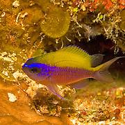 Sunshinefish, juvenile, inhabit deep reefs and walls in Tropical West Atlantic; picture taken Utila, Honduras.