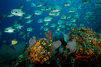 """Pacific Spadefish (Chaetodipterus zonatus) pass over a reef with many sea fans.<br /><br />Contreras Islands<br />Coiba National Park, Panama<br />Tropical Eastern Pacific Ocean<br /><br />""""The Fridge"""" dive site"""