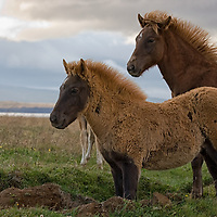 An icelandic mare with its foal, along the ring road, heading Brekka.