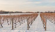 Pellegrini Vineyard. vines in snow, Cutchogue, New York, USA