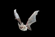 A Townsend's Big-eared bat (Corynorhinus townsendii) in flight at night. John Day Fossil Beds National Monument, Clarno unit, Oregon.