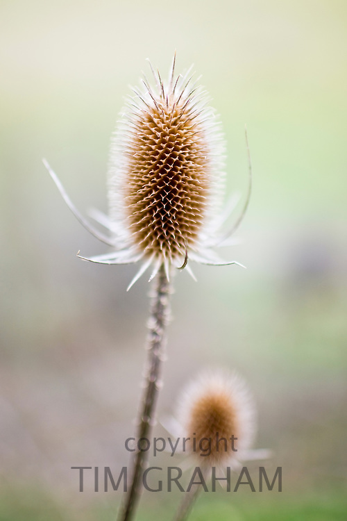 Thistle, Oxfordshire, United Kingdom