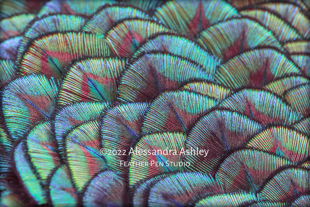Macro view, intricately patterned shoulder feathers of India blue peacock.