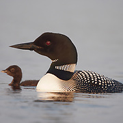 Common loon or great northern diver (Gavia immer) mother with chick. Island Lake, Minnesota