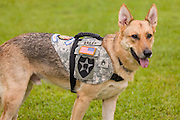 Service dog Abel on September 23, 2014 in Summerville, South Carolina. Local third-grade student Rachel Mennett led a successful fundraising effort using her lemonade stand to pay for training Abel to become a service dog for wounded warrior Nick Bailley.