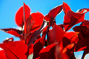 Red leaves on blue sky background