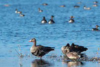 Greater White-fronted Goose, Anser albifrons, and American Wigeon, Anas americana, at Sacramento National Wildlife Refuge, California