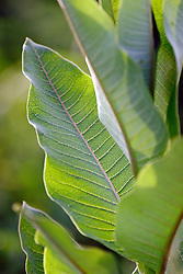 03 June 2005<br /> <br /> milkweed<br /> <br /> Comlara Park, McLean County, IL