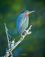Green Heron on a Perch Warming in the Morning Sun. Merritt Island National Wildlife Refuge in Florida. Image taken with a Nikon D3s camera and 80-400 mm VRII lens (ISO 200, 400 mm, f/5.6, 1/60 sec).