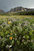 Wildflowers in Glacier National Park, Montana.