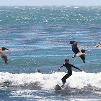 Both surfers and pelicans flock to the breaks off of 38th Avenue near Capitola, California. <br /> Photo by Shmuel Thaler <br /> shmuel_thaler@yahoo.com www.shmuelthaler.com