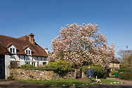 A woman walks past a magnificent magnolia tree in Lickfold, West Sussex as the sun shone across the country today. <br /> Picture date Monday 16th March, 2020.<br /> Picture by Christopher Ison. Contact +447544 044177 chris@christopherison.com