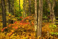 Colorful autumn forest scene, Vermont, USA