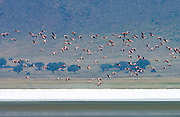 Lesser Flamingo, Ngorongoro Crater, Tanzania, East Africa