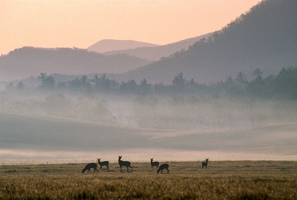 Deer feeding in Cades Cove, morning light, spring, Great Smokies National Park, Tennessee, USA