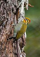 Yellow-browed Woodpecker - Piculus aurulentus