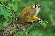 Squirrel Monkey (Saimiri seiureus) - captive, originates from Brazil  .South America....