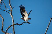 White-headed vulture (Trigonoceps occipitalis) Critically endangered bird species endemic to Africa. Photographed at Zambezi river, Zimbabwe in April