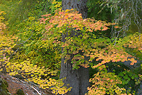Colorful Vine Maples dominate the understory of an old growth forest near McKenzie Pass oregon