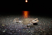 Common toad (Bufo bufo) crossing road on spring migration. Surrey, UK.