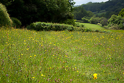 Buttercups and clover in a field