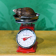 Giant African land snail Annual weigh in at ZSL London Zoo on 23 August 2018, London, UK