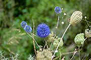 Echinops adenocaulos, Common Globe thistle. Photographed in the Carmel Mountain, Israel in June